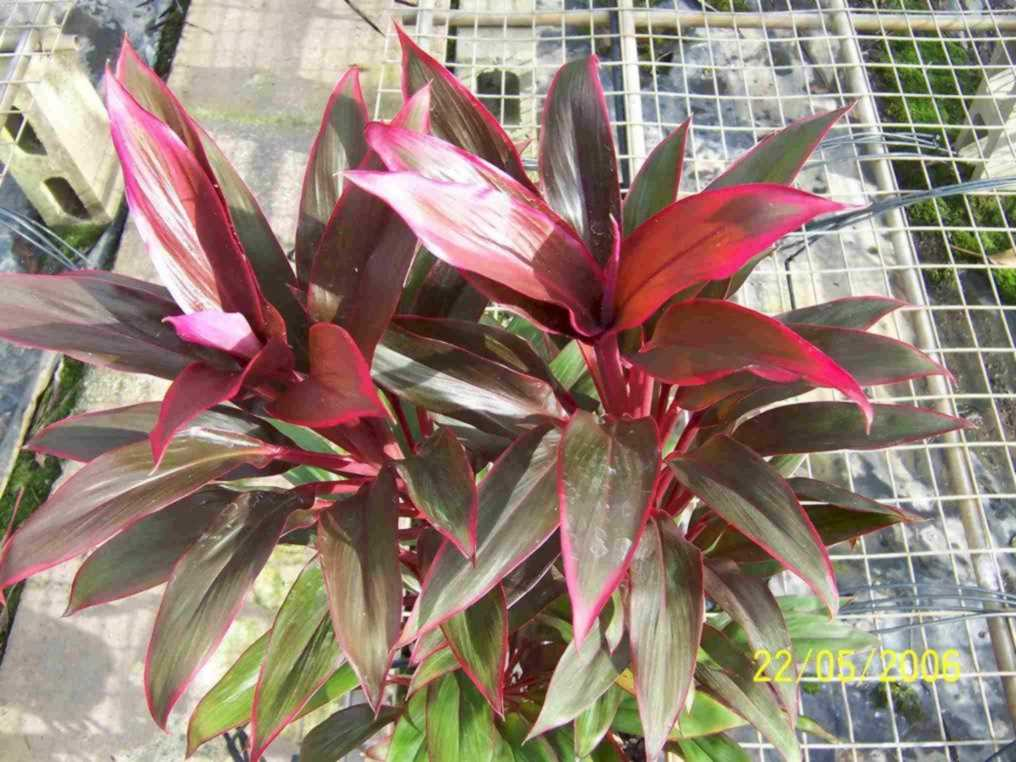 Cordyline Collection, Palm Park on peppers red, animals red, ornamental grasses red, orchids red, berries red, cactus red, pots red, design red, nature red, mums red, flowers red,